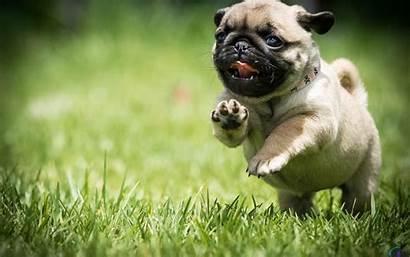 Pug Puppies Desktop Backgrounds Windows Wallpapertag