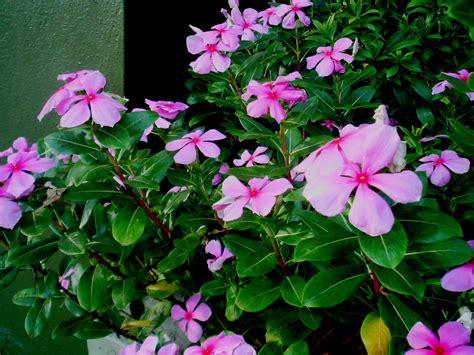 vinca flower laman kambatik plants list 3rd ed vinca rosea madagascar periwinkle