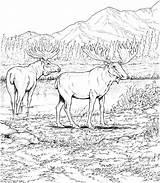 Coloring Moose Printable Elk Deers Deer Animal Animals Wildlife Ausmalbilder Elch Malvorlagen Konabeun Sheets Drawing Valley Carolinaaac Supercoloring sketch template
