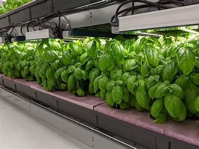 Hydroponic Basil Herbs