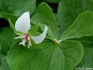 Trillium flexipes (Drooping Trillium): Minnesota Wildflowers
