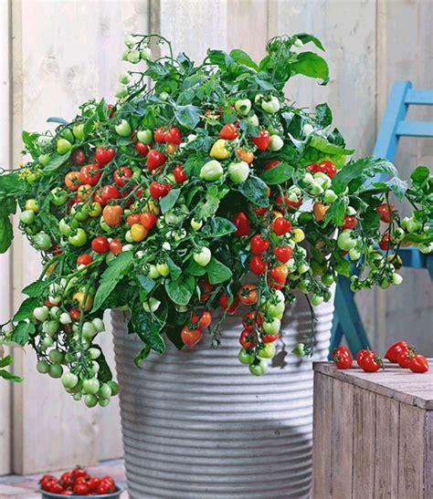 tomaten im topf topf tomaten kollektion snackgem 252 se bei baldur garten