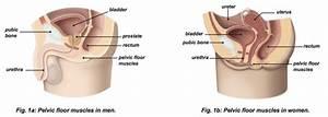 sunshine coast urology pelvic floor muscle exercises With pelvic floor exercises prostate