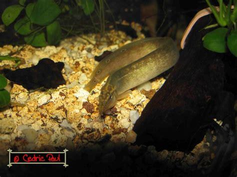 anguille aquarium eau douce anguille aquarium eau douce 28 images aquarium poissons acantophtalmus kulli ml anguille