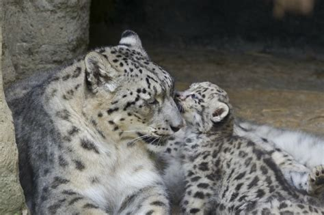 snow leopard mom   paws full  triplets zooborns