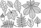 Blanco Zwart Pagina Herfstbladeren Dibujar Kleurplaten Coloring Handgetekende Wit Hoja Acacia Depositphotos Tree Oak Leaf Autumn Leaves Herbarium Draw sketch template