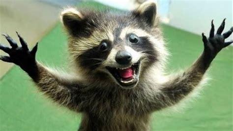 Top Raccoons 🔴 Funny Raccoon Videos Compilation ...