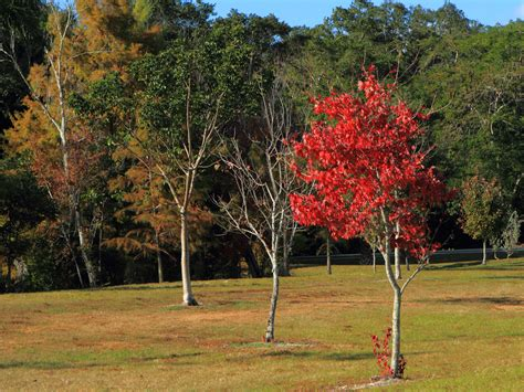 florida fall foliage red maple fall foliage in florida my canon 7d