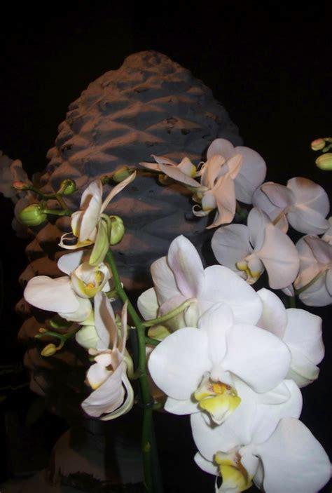 entretien orchidees en pot entretien orchid 233 e blanche en pot l atelier des fleurs