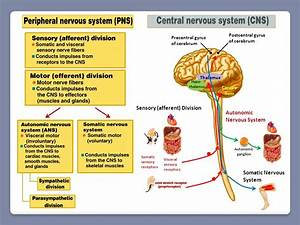 Lecture # 22: The Autonomic Nervous System
