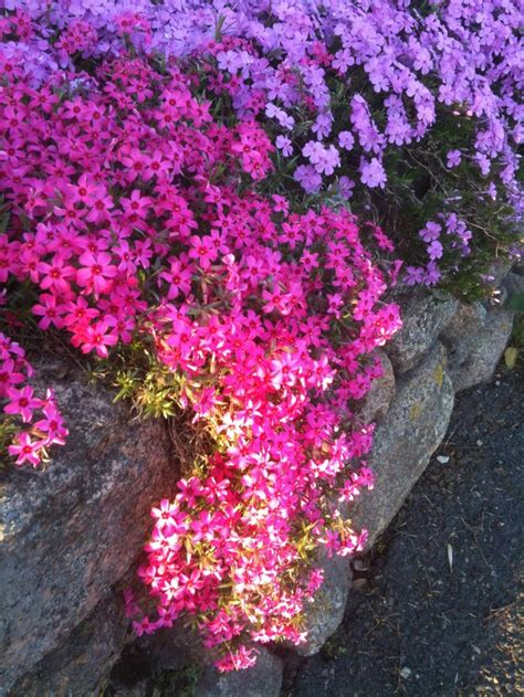 creeping flowers creeping phlox a flower carnation dianthus sweet william phl
