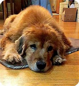 Indianapolis, IN - Chow Chow Mix. Meet Delilah a Dog for ...