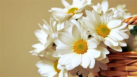 daisy flower wallpapers  psd vector eps