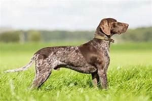 Small Hunting Dog Breeds - Goldenacresdogs.com