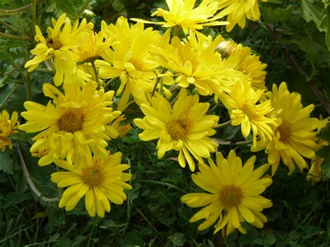 yellow mums mums flowers the crowning glory of fall s display tending my garden organic gardening with