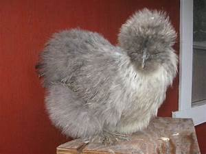 Gray Silkies question - PICTURES - Page 7
