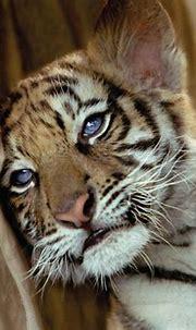 [73+] Cute Tiger Wallpaper on WallpaperSafari