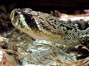 Eastern Diamondback Rattlesnake Facts and Pictures ...