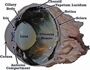 Cow Eye Dissection Labeled
