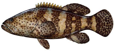 grouper goliath fish drawing mounts uploaded user fishing