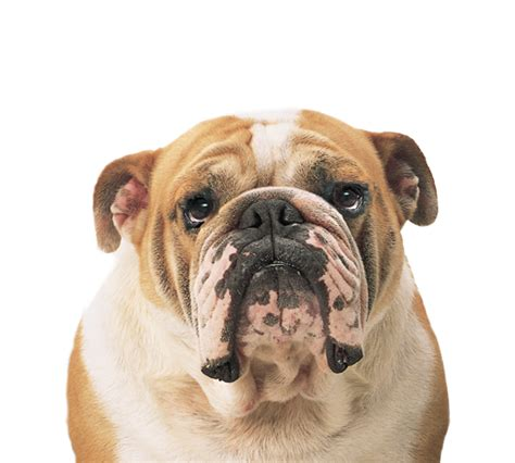 Ee  Bulldog Ee   Png Transparent Images Png All