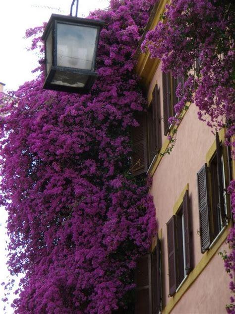 beautiful ornamental plant bougainvillea beauty  save