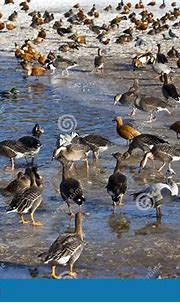 Flocks Of Ducks And Geese On The Big Pond In The Moscow ...
