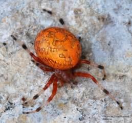 Orange Marbled Orb Weaver Spider Poisonous