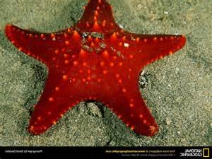 Red Starfish Wallpaper