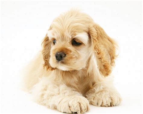 American Spaniel Puppies Goldenacresdogs Com