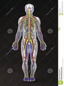 Blood Circulatory System Of Human Body Cartoon Vector