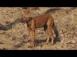 Indian Dhole Wild Dog