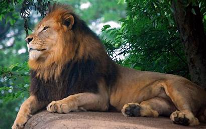 Lion Zoo King Wallpapers
