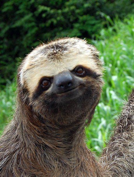 202 Best Images About Sloths I Love Them On Pinterest
