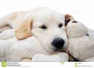 Golden Retriever Puppy Sleeping Stock Photos - Image: 33328543