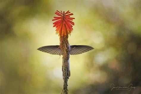 hummingbirds jan van der greef photography