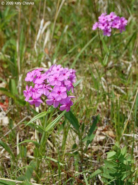 phlox pilosa prairie phlox minnesota wildflowers