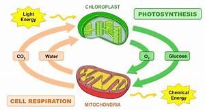 Photosynthesis Vs Respiration