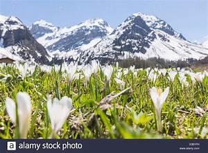Blumen Im Frühling : nahaufnahme der crocus blumen im fr hling bl hen davos sertigtal kanton graub nden schweiz ~ Orissabook.com Haus und Dekorationen