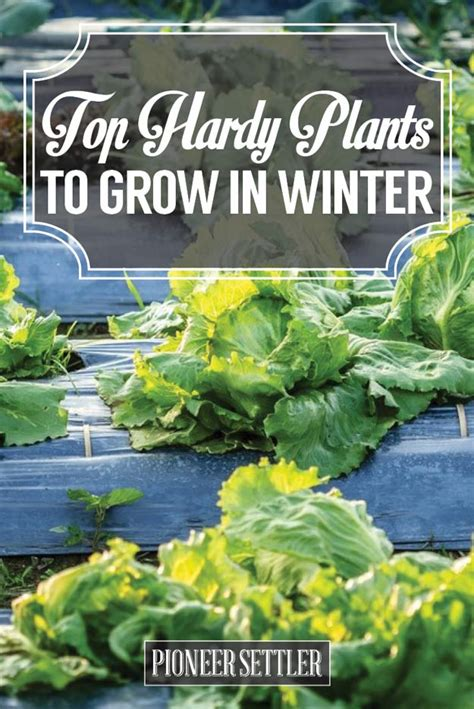 growing seeds in winter top hardy plants to grow in winter homesteading tips for gardeners pioneer settler