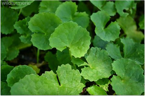 5 Best Health Benefits Uses Of Gotu Kola Tea