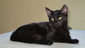 Black Cat With Yellow Eyes Breed   www.imgkid.com - The ...