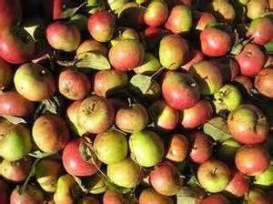 Harry Masters Jersey - Cider Apple Tree £12.75 - Cider ...