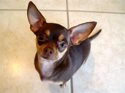 List Of Dogs That Shed Very Little by Chihuahuas Images Chihuahua Hd Wallpaper And Background