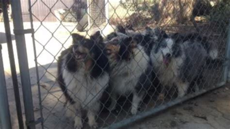 shelties surrendered  house fire   adoption