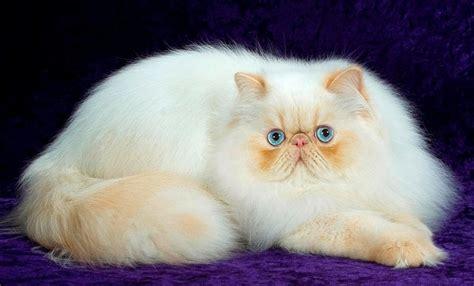 Cik gadus kaķi un kaķi dzīvo vidēji britu, persiešu, siamiešu, kails sphinxes, Scottish Fold ...