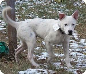 Bolt | Adopted Puppy | Minneapolis, MN | Westie, West ...
