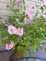Best 25 ideas about flowering shrub identification find what you flowering plant pink flower bush identification mightylinksfo