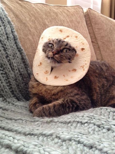 Bread Cat Meme - cat breading costume
