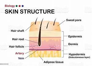 Dermatology Diagram Show Human Skin Structure Stock